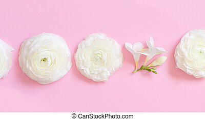 Cream ranunculus flowers on a light pink  background