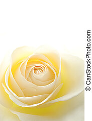 Close-up of soft creamy white rose flower against white background