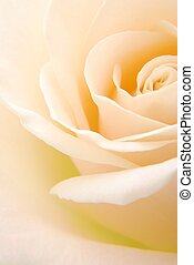 creamy rose - Close-up of soft creamy white rose flower...