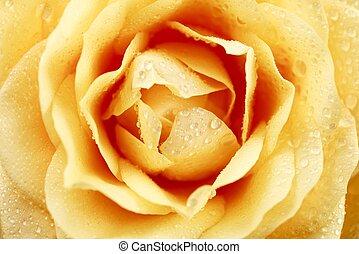 Creamy Rose Macro Photography. Morning Dew in a Garden....