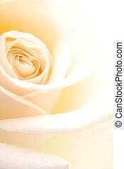creamy rose - Close-up of single soft creamy rose flower...