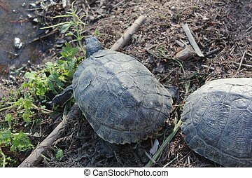 two turtles - Creative design of two turtles