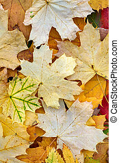 Creative top view   color autumn leaves of maple,    as background with copy space in minimal style, template for lettering,