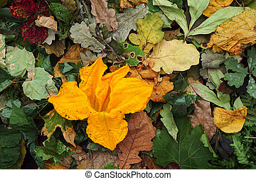 Creative top view  dry color autumn leaves and flower zucchini (pumkin)  as background with copy space in minimal style,