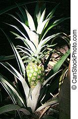 crecer, ananas, (ananas, comosus)
