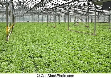 crecer, andive, invernadero, plantas
