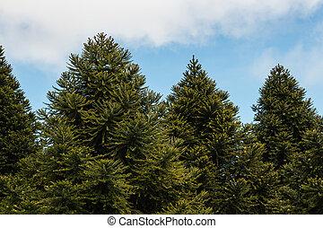 Crecer,  araucaria, bosque, árboles