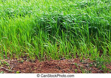 crecer, campo de trigo
