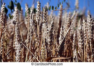 Crecer, campo, trigo