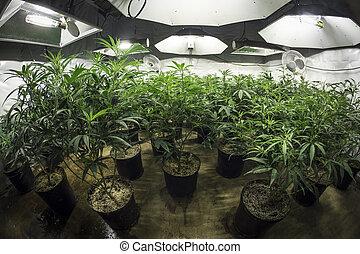 crecer, habitación, interior, marijuana