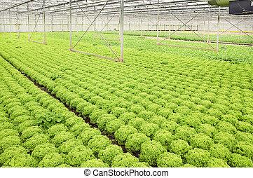 crecer, plantas, invernadero, ensalada