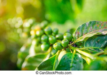 crecer, primer plano, café, bayas, ramas