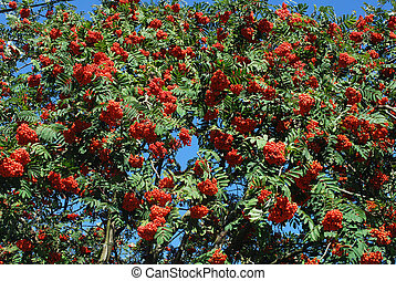 crecer, rowan, bayas, árbol, rojo