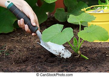crecer, (squash), plantas