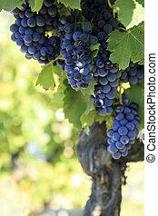Crecer, vino, rojo, uvas, viña