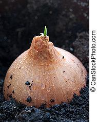 crecido, cebolla