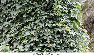 creeper bindweed tree