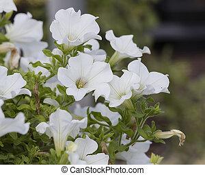 creeper, flor branca, sino