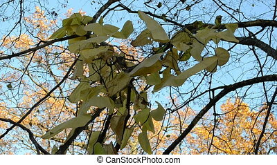 creeper leaf oak tree - big creeper leaf grow on tree branch...