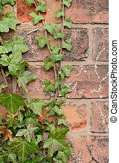 creeper on the wall - the creeper on the old brick wall