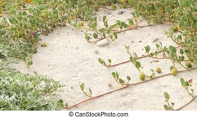 Creeper plant on pacific ocean sandy beach, California coast, USA. Sand, tiny flowers, stones and greenery by the sea. Natural botanical flora in Encinitas, where people restore the coastal ecosystem.