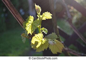 creeper vine