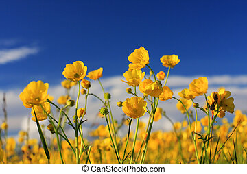 A field of small yellow summer flowers against a deep blue sky, shot in the setting sun, very saturated colors and warm summerfeel to the image
