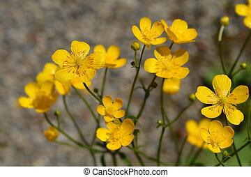 Creeping buttercup yellow flowers - Latin name - Ranunculus repens