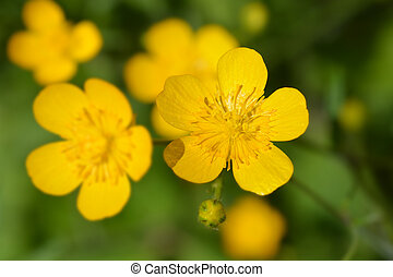 Creeping buttercup yellow flowers - Latin name - Ranunculus...