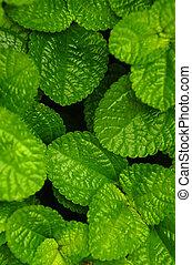 Creeping Charlie (Pilea nummulariifolia) - Green Creeping...