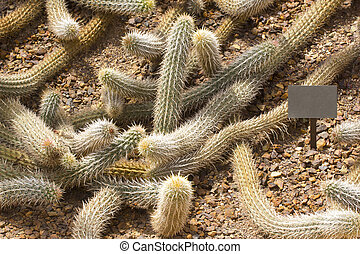 Creeping Devil cactus, is found only on sandy soils, can form impenetrable patches of branching very spiny two meters long stems measuring several meters across; Botanical Garden, Phoenix, AZ, USA