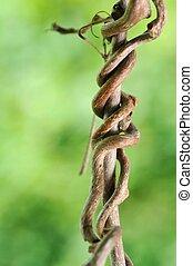 Creeping Grape Branch - A close-up of a creeping grape...