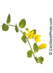 yellow flower (Lysimachia nummularia) on white background