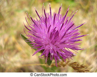 Creeping or Field Thistle - Close up of a Creeping Thistle,...