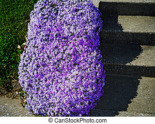 purple creeping phlox line a set of steps
