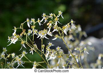Creeping saxifrage - Latin name - Saxifraga stolonifera...