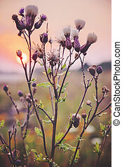 Creeping Thistle in the sunset - Cirsium arvense in the...