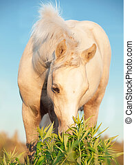 cremello welsh pony foal in the field.