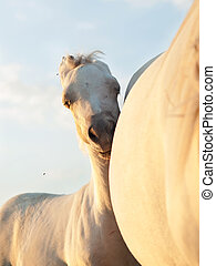cremello welsh pony foal with mom at sunset