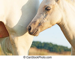 cremello welsh pony foal with mom