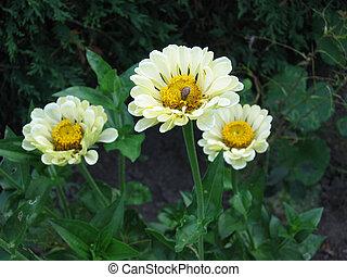 cremoso, flores, 3