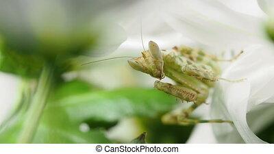 Creobroter meleagris mantis eating something in flower.