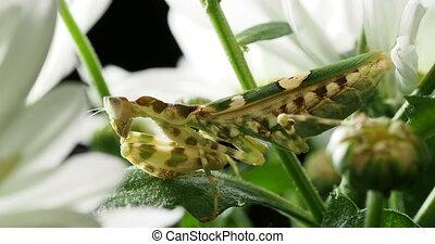 Creobroter meleagris mantis in flower.