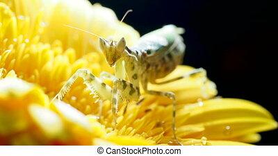 Creobroter meleagris mantis sitting on yellow flower.