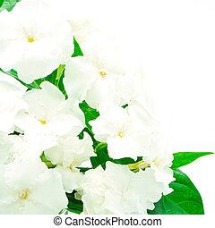 Crepe Jasmine or East Indian Rosebay (Ervatamia eornaria),...