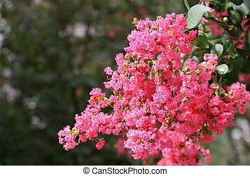 A crepe myrtle tree in full bloom against green background