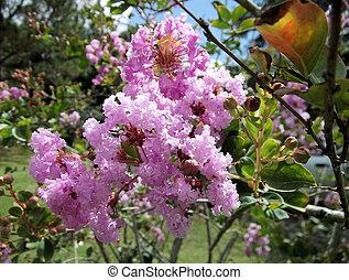Close up of pink crepe myrtle flower.