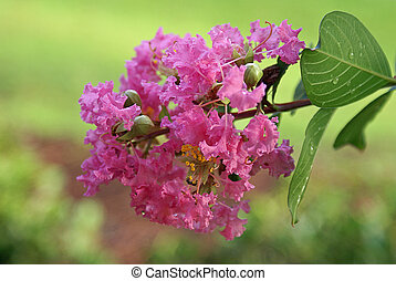 This is a crepe myrtle tree flower