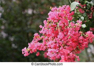 Crepe Myrtle - A crepe myrtle tree in full bloom against...