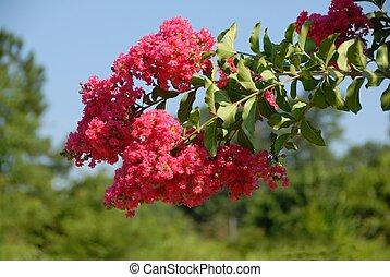 crepe myrtle tree rural georgia